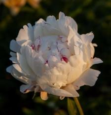 Paeonia lactiflora 'Coquette'