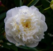 Paeonia lactiflora 'Florence Nicholls'