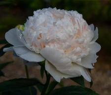 Paeonia lactiflora 'Mandaleen'