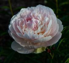 Paeonia lactiflora 'Mlle Léonie Calot'