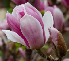 Magnolia denudata FRAGRANT CLOUD® 'Dan Xin'