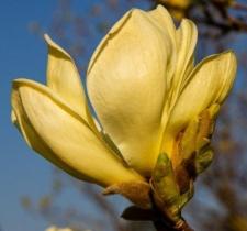 Magnolia denudata 'Yellow River'