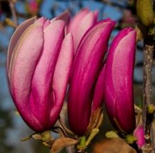 Magnolia 'Judy'