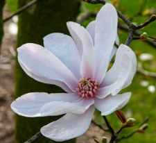 Magnolia 'Pink Glory'