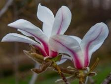 Magnolia 'Rogów'
