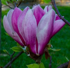 Magnolia 'Winelight'