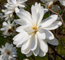 Magnolia ×loebneri 'Powder Puff'
