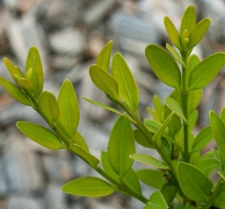 Buxus sempervirens 'Compact Barza'