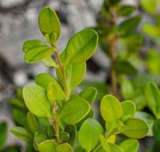Buxus sempervirens 'Fleur de Lys'