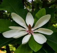 Magnolia obovata Thunb.
