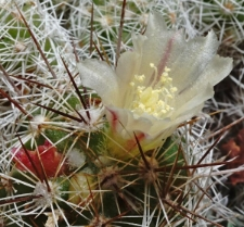 Mammillaria gracilis Pfeiff. var. fragilis A. Berger