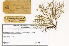 Echinogorgia abietina Kükenthal, 1919