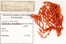 Melitodes flabellifera Kükenthal, 1908