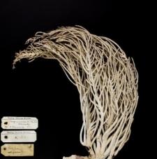 Pterogorgia acerosa (Pall) var. elastica Bielschowsky, 1918