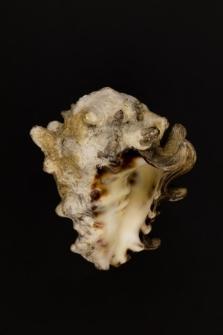 Vasum cornigera