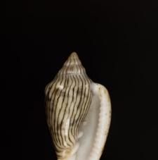 Marginella adansoni