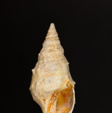 Pleurotoma asperulata