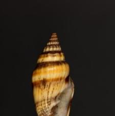 Mitra vulpecula