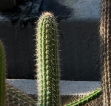Cleistocactus buchtienii Backeb.