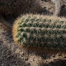 Cleistocactus icosagonus (Kunth) F.A.C. Weber ex Rol.-Goss.