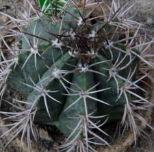 Melocactus bahiensis (Britton et Rose) Luetzelb. subsp. amethystinus (Buining et Brederoo) N.P. Taylor