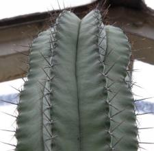 Neobuxbaumia polylopha (DC.) Backeb.