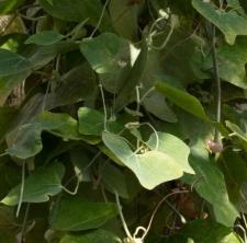 Aristolochia kaempferi Willd.