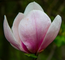 Magnolia ×soulangeana 'Burgundy'