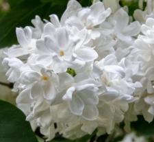 Syringa vulgaris 'Edith Cavell'