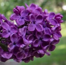 Syringa vulgaris 'Negro'