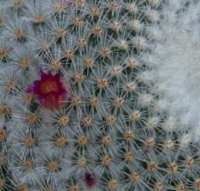 Mammillaria supertexta Mart. ex Pfeiff.