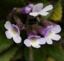 Haberlea rhodopensis Friv.