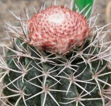 Melocactus curvispinus Pfeiff.