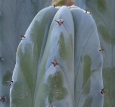 Myrtillocactus geometrizans (Mart.) Console