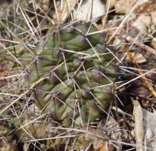 Opuntia polyacantha Haw.