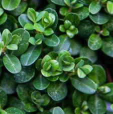 Buxus microphylla 'Morris Midget'