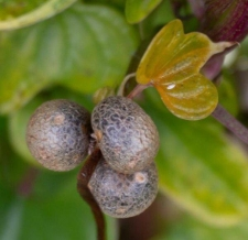 Dioscorea polystachya 'Variegata'
