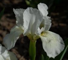 Iris 'Schneekoppe'