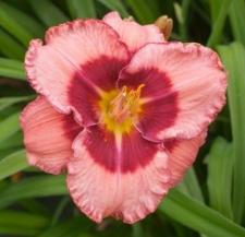 Hemerocallis 'Baby Red Eyes'