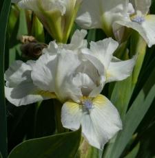 Iris 'Sigh'