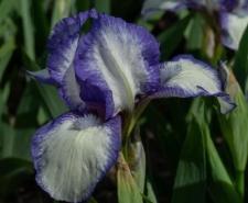 Iris 'Stitch Witch'