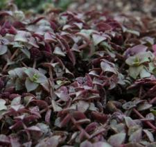 Crassula pellucida L. subsp. marginalis (Aiton) Toelken fo. rubra