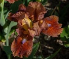 Iris 'Trusty Rusty'
