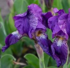 Iris pumila L.