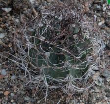 Astrophytum capricorne (A. Dietr.) Britton et Rose var. minus Frič