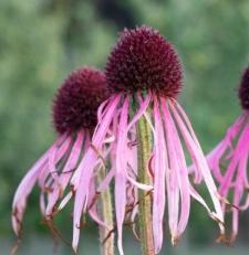 Echinacea pallida 'JS® Satin Lights'