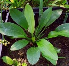 Echinodorus 'Peter Schwott'