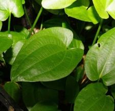 Echinodorus cordifolius subsp. cordifolius (typ schlueterii)