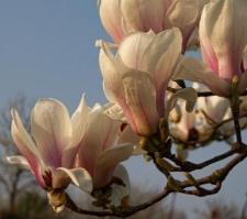 Magnolia ×soulangeana 'Amabilis'