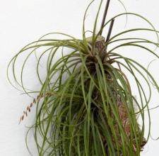 Tillandsia narthecioides C. Presl